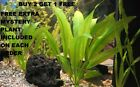 Amazon Sword Echinodorus Bleheri Beginner Live Aquarium Plants BUY2GET1FREE