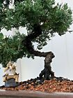 JUNIPER Pre Bonsai tree Cold Hardy Evergreen Wired  Styled