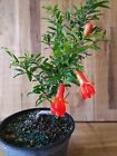 Dwarf Pomegranate Pre Bonsai Tree by The Bonsai Supply