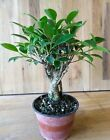 Shohin Fat Trunk Tiger Bark Ficus Pre Bonsai Tree by The Bonsai Supply