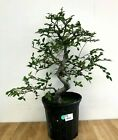 Large Informal Upright Chinese Elm Pre Bonsai Tree by The Bonsai Supply
