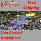 3 5 10X Neon Rainbow Fish Beginner Aquarium Koi Kompanion Free Shipping