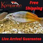 3 5 10X Bosemani Rainbow Fish Beginner Aquarium Koi Kompanion Free Shipping
