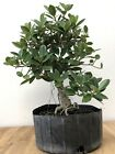 Green Mound Ficus Pre Bonsai Tree by the Bonsai Supply