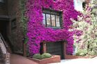 5 Live Bougainvillea Cherry Blossom Tree Plant Cuttings