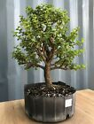 Large Jade Pre Bonsai Tree by The Bonsai Supply