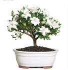Brussels Live Gardenia Outdoor Bonsai Tree 4 Years Old 6 to 8 Tall with De