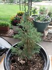 An Bonsai seedling Live Colorado Blue Spruce  2 to 5 in bare root Free ship