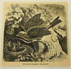 1881 magazine engraving ~ SCARLET TANAGER in nest with babies