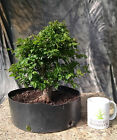 Chinese Bird Plum Bonsai Sageretia theezans Advanced Level Prebonsai
