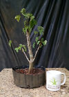 Bonsai Trident Maple Acer buergerianum Prebonsai