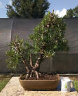 Bonsai Tree Buddhist Pine Fully Wired and Styled Advanced Level Bonsai