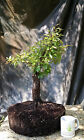 Bonsai Tree Flowering Prebonsai Chickasaw Plum Yamadori Informal Upright