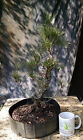 Bonsai Tree Japanese Black Pine Pinus thumbergii Prebonsai Nice Bark