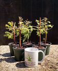 Bonsai Tree Dawn Redwood Five Tree Starter Pack No Reserve Auction