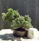 Bonsai Tree Simpaku Juniper Prebonsai Carefully Grown Tree No Reserve