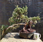 Bonsai Tree Parsoni Juniper Prebonsai Awesome Trunk Twists + Character