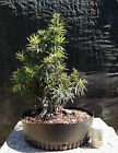 Bonsai Tree Buddhist Pine Prebonsai Forest Nice Taper and Composition