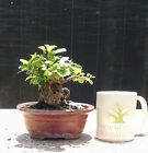 Bonsai Tree Ginseng Ficus Fat trunk Excellent Taper No Reserve auction