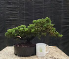 Bonsai Green Mound Juniper Procumbens Nana Prebonsai Awesome Character