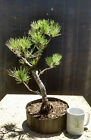 Bonsai Tree Japanese Black Pine Pinus thunbergii Prebonsai A+ Branching 3