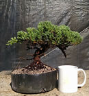 Bonsai Green Mound Juniper Awesome Trunk Line Prebonsai Shohin Sized