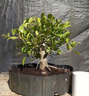 Bonsai Ficus Microcarpa QualityPrebonsai Great Banyan Potential Tropical
