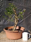 Bonsai Downy Jasmine Flowering Bonsai Aged Quality Prebonsai Beautiful Bark