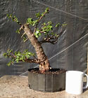Bonsai Tree Prebonsai Tropical Bonsai Dwarf Jade Awesome Trunk