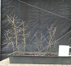 Bonsai Chinese Elm Ulmus parvifolia Seven Tree Forest Planting Quality Trees