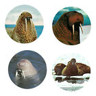 Walrus Magnets 4 Way Cool Walrus for your Fridge or Collection A Great Gift