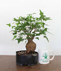 Bonsai Tree Coral Bean Cherokee bean Awesome Trunk Flowering Prebonsai