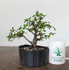 Bonsai Chinese Bird Plum Solid Nebari Nice Taper and Trunk Shohin