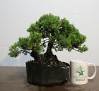 Bonsai Green Mound Juniper Procumbens Nana Prebonsai Large Trunk