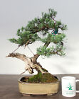 Bonsai Tree Parsoni Juniper Finished Bonsai Amazing Deadwood Unusual Style
