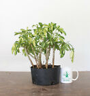 Variegated Hawaiian Umbrella Prebonsai Tropical Colorful Exotic Bonsai Live