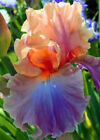 Bearded 2 Iris Bulbs Roots Rhizome Multiply Rapidly Easy Care for Fall Planting