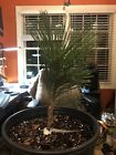 Very Rare Ondai Japanese Black Pine Tree Bonsai or Lawn