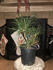 Japanese Black Pine 1 Gallon Pre Bonsai Thick Trunk Roots Out The Bottom NICE