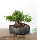 Bonsai Tree Flowering Azalea Incredible Taper Amazing Deadwood Specimen