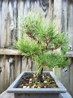 Japanese Black PineBonsai Tree