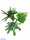 2 Fern 3 Pack Great for Terrariums Very Cute