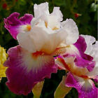 Perennial 2 Bearded Iris Roots Bulbs Rhizome Fragrant Flower Resistant Easy Grow