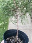 Pinus Thunburgii Japanese Black Pine Pre Bonsai NICE