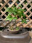 amur maple bonsai tree acer japanese pre bonsai shohin 25 years old from seed