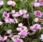 ENGLISH DAISY FLOWERS 200 FRESH SEEDS FREE USA SHIPPING BELLIS PERENNIS