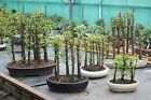 Bonsai Tree Group Forest Dawn Redwood Metasequoia Range of sizes Available
