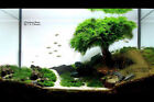 Xmas Moss x 1 bag - Aquarium Planted Aqurium Tnak Fishtank Co2 Eheim Juwel