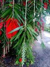 BOYETTE WEEPING Red Bottlebrush Tree Plant Flowers Attract Hummingbird Bonsai