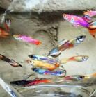 Guppies from Brooke's Mix Tank 5 males + 5 females